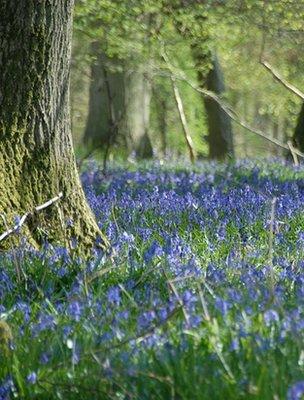 Woodland bluebells (Image: BBC)