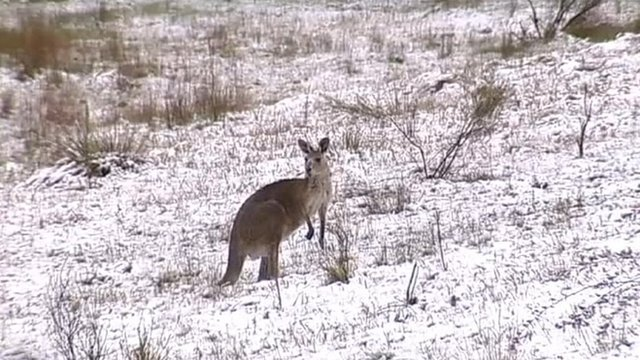 Kangaroo in snow