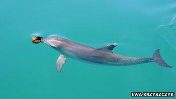 Sponger dolphin