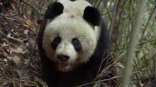 Panda grab from Wildlife finder