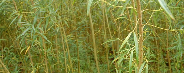 short rotation coppice willow (Image: BBC)