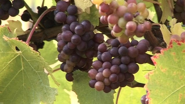 Grapes growing at Childford Hall vineyard
