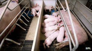 Mother and pilgets in farrowing crates