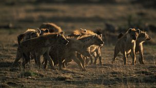 Pack of spotted hyenas preparing to attack
