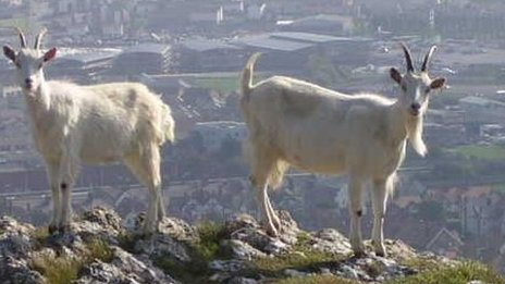 Goats with Llandudno behind them