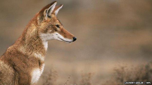 Ethiopian wolf: BBC Nature