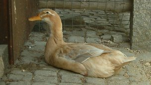 A duck like one of the stolen ones