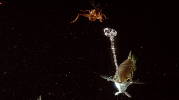 Archer fish capturing its insect prey