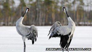 Two common cranes