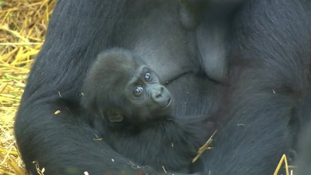 Baby gorilla