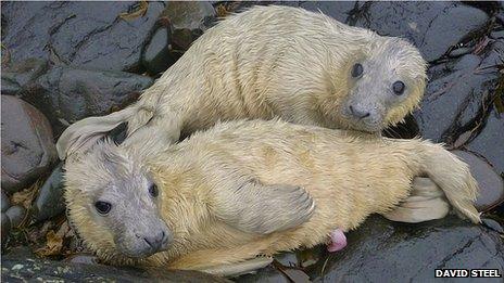 Farne Island seal pup twins