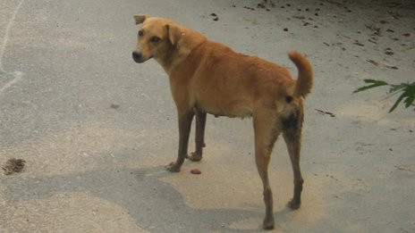 Stray dog in India