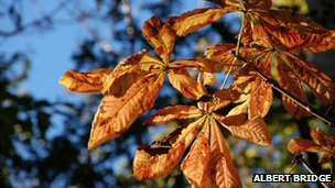 Horse chestnut tree leaves in autumn