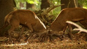Stags battling