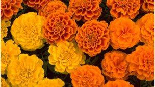 Cempazuchilt flower