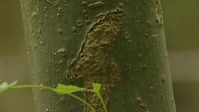 Disease threat to UK's ash trees