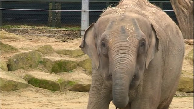 Tonzi, 28, was one of two elephants allegedly beaten by Twycross Zoo staff
