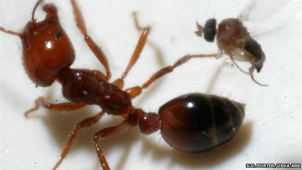 Decapitating fly attacks fire ant (S.D. Porter, USDA-ARS)