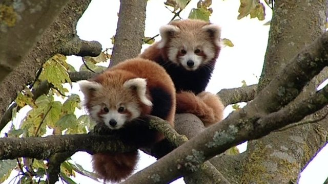 Two red panda cubs at the Cotswold Wildlife Park