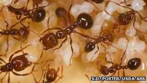 Fire ant (S.D. Porter, USDA-ARS)