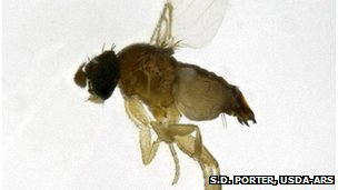Decapitating fly (S.D. Porter, USDA-ARS)
