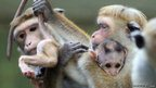 A mother toque macaque holds her baby at a Zoo in Berlin.