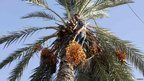 A man up a palm tree picking dates in Tripoli, Libya - Friday 19 October 2012