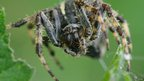 Will George Garden Spider (Araneus diadematus)