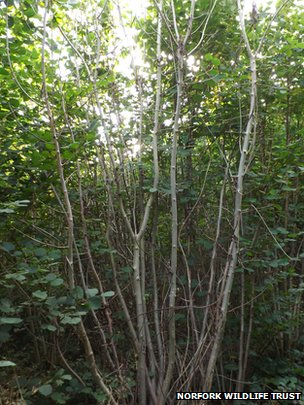 Suspected case of chalara dieback
