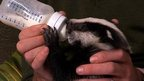 Badger cub orphan hande fed milk