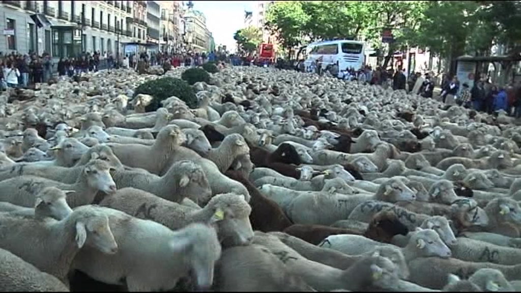 Sheep in central Madrid
