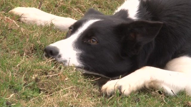 Midge the border collie