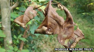 Diseased ash leaf