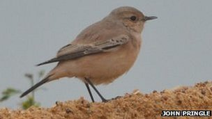 Desert wheatear in Essex, photo courtesy of John Pringle
