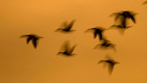 A flock of geese in flight (c) Nigel Pye