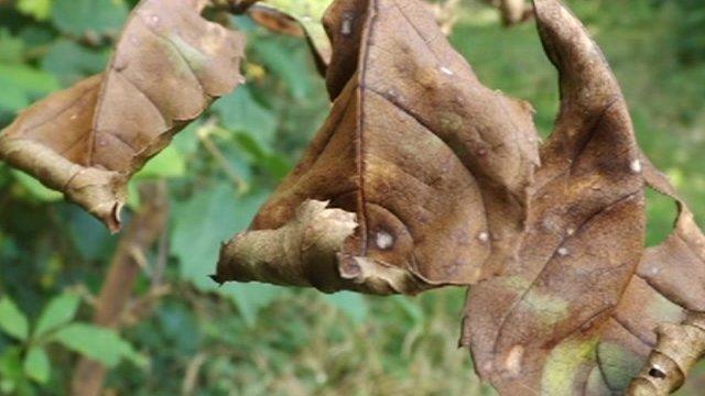 Diseased tree leaf
