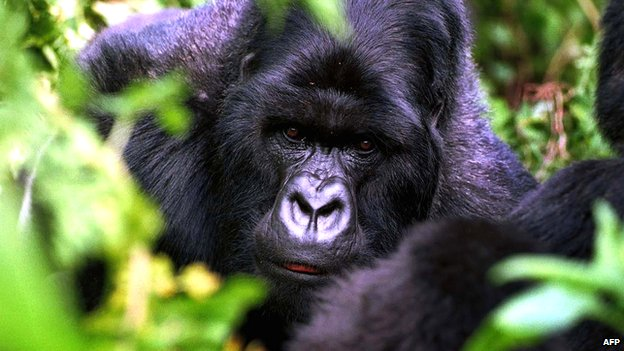 "Male ""silverback"" gorilla in the Volcano National Park, Rwanda"