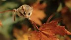 Dormouse on an autumn leaf