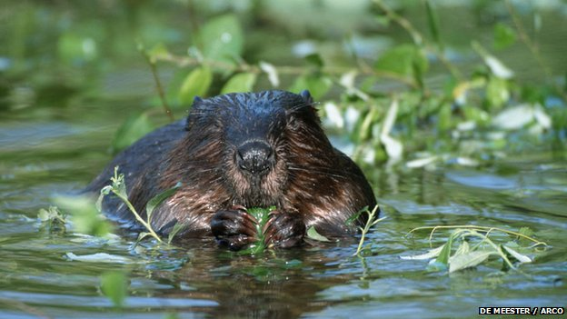 Eurasian beaver