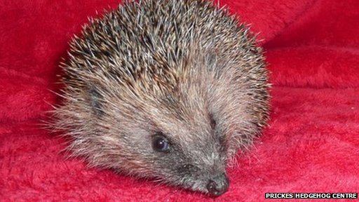 Hedgehog which was trapped in a crisp packet