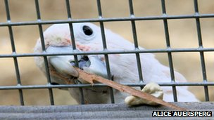 Figaro the cockatoo using a stick for a tool