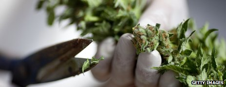 A close up of a cannabis plant being chopped up