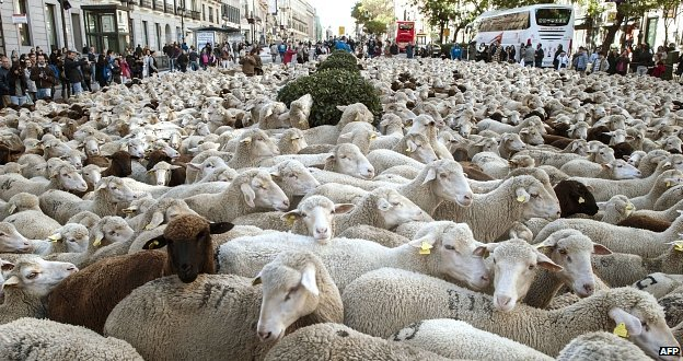 Sheep in Madrid