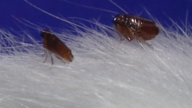 File picture of fleas