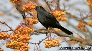 Blackbird in pyracantha