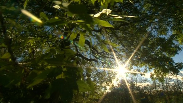 Sun shines through ash tree leaves