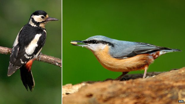 Woodpecker and nuthatch