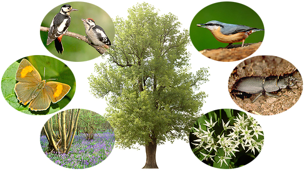 Ash tree and associated wildlife