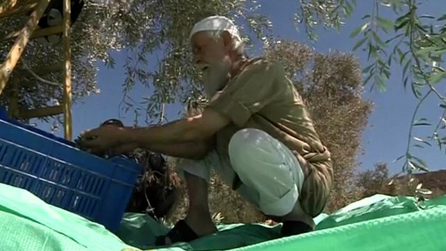 An olive grove outside Nablus