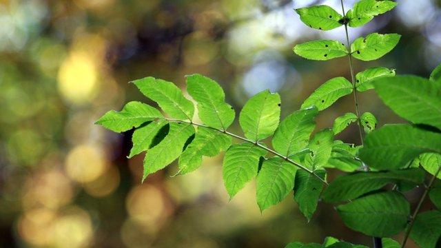 An ash sapling